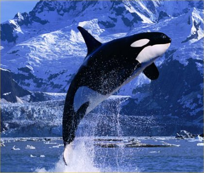Fear Of Driving >> Killers–Is Captivity Driving Killer Whales Mad? | Brain Waves